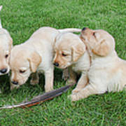 Labrador Retriever Puppies And Feather Poster