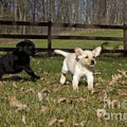 Labrador Retriever Pups Poster by Linda Freshwaters Arndt