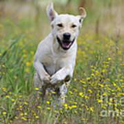 Labrador Running Poster