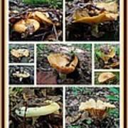 Lactarius Torminosus - Yellow Mushrooms Poster
