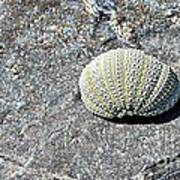 Lacy Shell On A Beachrock Poster