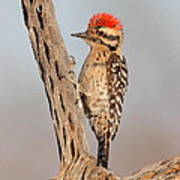 Ladder-backed Woodpecker Poster