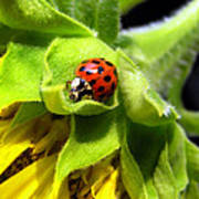 Ladybug And Sunflower Poster