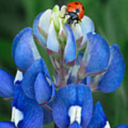 Lady Bug And Bluebonnet Poster