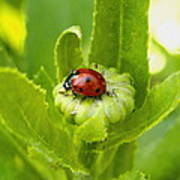 Lady Bug In The Garden Poster