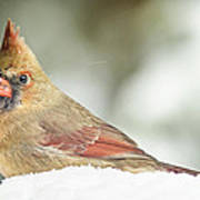 Lady Cardinal In The Snow Poster