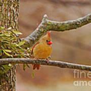 Lady Cardinal Poster