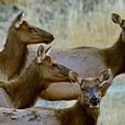 Lady Elk Poster