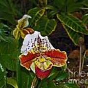 Lady Slipper Orchid Poster