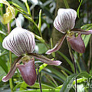 Lady Slippers Poster