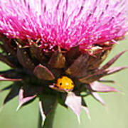 Ladybug And Thistle Poster by Marilyn Hunt