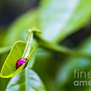 Ladybug Cup Poster