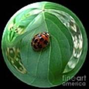 Ladybug Eating Aphids Poster