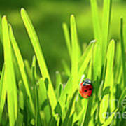 Ladybug In Grass Poster by Carlos Caetano