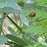 Ladybug On A Leaf Poster