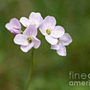 Ladys Smock Or Cuckoo Flower Poster