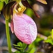Ladyslipper  Wildflower Poster