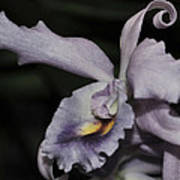 Laeliocattleya Blue Boy 1 Of 2 Poster