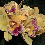 Laeliocattleya Lydia Hubbell Poster