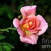 Lafter Hybrid Tea Rose 8990 Poster
