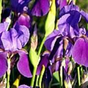 Lake Country Irises Poster
