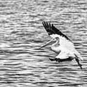 Landing Pelican In Black And White Poster