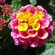 Lantana Blooms And Buds Poster