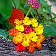 Lantana Flowers 2 Poster