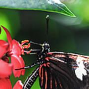 Laparus Doris Butterfly Poster