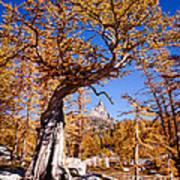 Larch Tree Frames Prusik Peak Poster