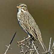 Large-billed Savannah Sparrow Poster