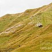 Large Flock Of Herded Sheep On A Steep Hillside Poster