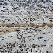 Large Flocks Of Migratory Birds Stop Poster