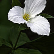 Large Flowered Trillium Poster