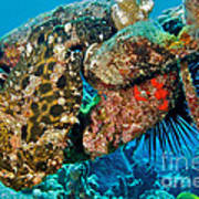 Large Frogfish Poster