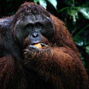 Large Male Orangutan Borneo Poster