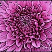 Large Pink Dahlia 2 Poster