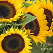 Large Sunflowers Poster