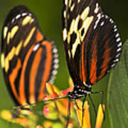 Large Tiger Butterflies Poster