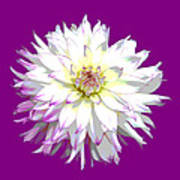 Large White Dahlia On Purple Background. Poster
