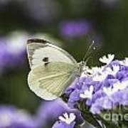 Large White Pieris Brassicae  Poster