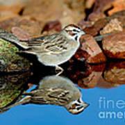 Lark Sparrow Chondestes Grammacus Poster