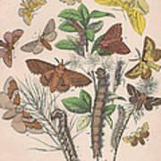 Lasiocampa Poster
