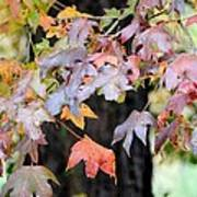 Late Autumn Maples Poster