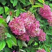 Late Hydrangea Flower Poster