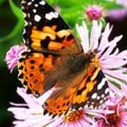 Late Summer Painted Lady Poster