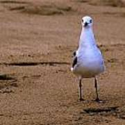 Laughing Gull 004 Poster