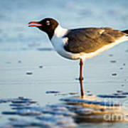 Laughing Gull On The Beach At Fort Clinch State Park Florida  Poster