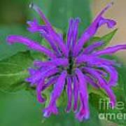 Lavender Bloom Poster