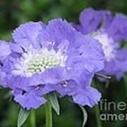 Lavender Blue Pincushion Flower Poster